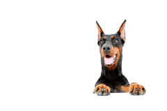 Dobermann pinscher emerging from behind Royalty Free Stock Images
