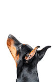 Dobermann pinscher looking up Stock Image