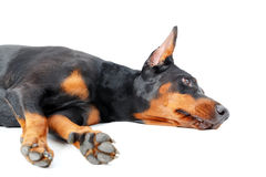 Dobermann pinscher lying on the beach na odosobnionym tle Fotografia Stock