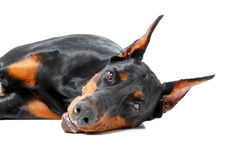 Dobermann pinscher lying on the beach na odosobnionym tle Obraz Stock