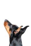 Dobermann pinscher przyglądający up Obraz Stock