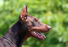 Dobermann portrait Stock Photography