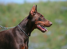 Dobermann portrait Royalty Free Stock Photography