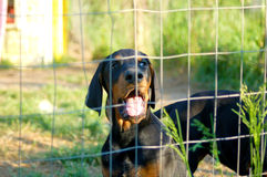 Dobermann puppy behind fence Royalty Free Stock Images