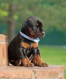 Dobermann puppy having rest Stock Photography