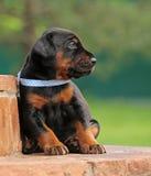 Dobermann puppy having rest Stock Photo