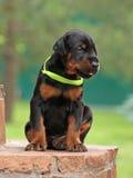Dobermann puppy having rest Royalty Free Stock Image