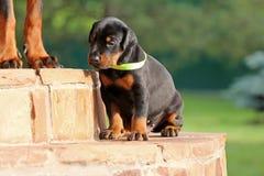 Dobermann puppy having rest Royalty Free Stock Photos