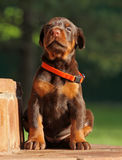 Dobermann puppy having rest Stock Images
