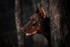 Dobermann rouge de race de chien de portrait près des arbres photos libres de droits