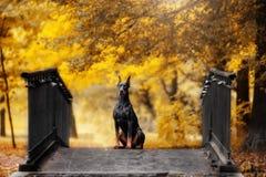 Dobermann sitzt auf einer Brücke im Herbstpark stockfotografie