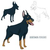Doberman Pinscher standing isolated on white background. Silhoue. Dobermann standing and panting with tongue out. Watchdog for your design Stock Photos