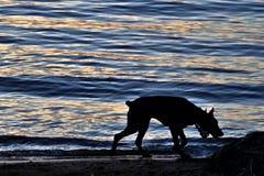 Dobermann sur les banques de la rivière Photo libre de droits