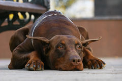 Free Dobermann Waiting Stock Images - 11838924