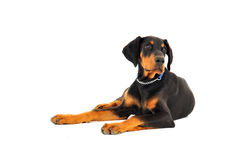 Dobermann Welpe Stockbild