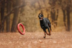 Dobermannhund im Herbst im Wald stockbild