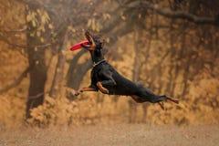 Dobermannhund im Herbst im Wald lizenzfreies stockbild