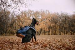 Dobermannhund im Herbst im Wald lizenzfreies stockfoto