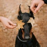 Dobermannhund mit Eigentümern im Herbstwald stockfoto