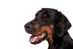 Dobermannhundeporträt Lizenzfreies Stockfoto