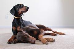 Dobermannmann und weibliche Haustiere Lizenzfreies Stockfoto