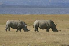 Dobierać do pary Afrykańską Białą nosorożec, lipped nosorożec z ptakami na plecy, Jeziorny Nakuru, Kenja obraz stock