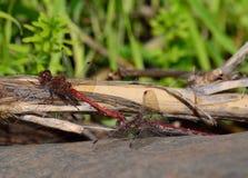 Dobierać się czerwoni dragonflies zdjęcie stock