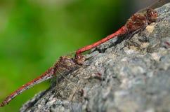 Dobierać się czerwoni dragonflies obraz royalty free