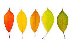 Dobiera różni jesieni czereśniowego drzewa liście odizolowywający na bielu Obraz Royalty Free