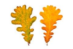 Dobiera różni jesieni dębowego drzewa liście na białym bac Fotografia Stock