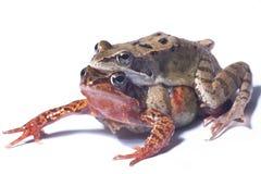 dobiera się żaby Obraz Stock