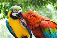 Dobiera się papugi w miłości akci przeciw naturalnemu tłu Obrazy Royalty Free