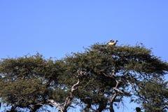 Dobiera się Popierającego sępa, Gyps africanus, Chobe park narodowy, Botswana zdjęcia royalty free
