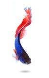 Dobiera się siamese bój ryba, betta odizolowywający na białym backgroun Obrazy Royalty Free