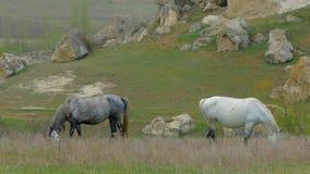 Doblando sus cabezas, los caballos comen la hierba en el campo almacen de metraje de vídeo