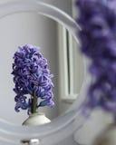 Doble del jacinto Foto de archivo libre de regalías