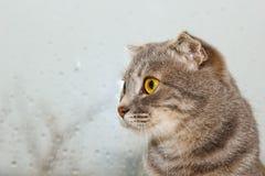 Doble el gato escoc?s que se sienta en el alf?izar en el fondo del tiempo lluvioso primer rayado gris del animal dom?stico fotografía de archivo libre de regalías