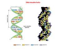 Doble hélice de la estructura de la DNA en 3D en el fondo blanco Nucleótido, fosfato Gráfico de la información de la educación ad Fotografía de archivo
