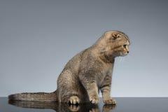 Doblez Cat Sits del escocés en Gray Mirror fotos de archivo libres de regalías