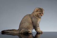 Doblez Cat Sits del escocés en Gray Mirror fotografía de archivo libre de regalías