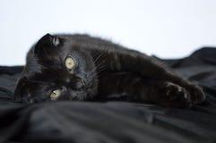 Doblez del escocés El gatito es 3 meses Negro del color Fotografía de archivo