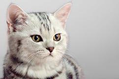 Doblez del escocés del gatito Foto de archivo