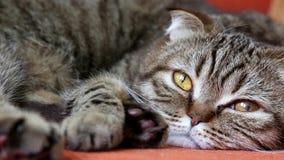 Doblez escocés Cat Laying en un sofá, mirando a la cámara almacen de video