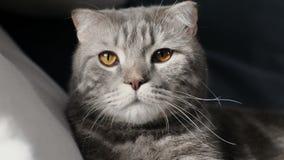 Doblez escocés Cat Resting And Looking At la cámara almacen de metraje de vídeo