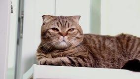 Doblez escocés Kitten Laying en un alféizar almacen de metraje de vídeo