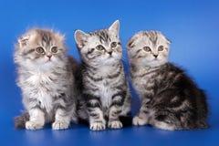 Doblez skotish del gatito mullido tres Imagen de archivo