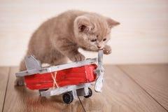 Dobra do Scottish - o gato está jogando com um plano de madeira imagem de stock