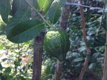 Dobra owoc, zielona pomarańcze Fotografia Stock