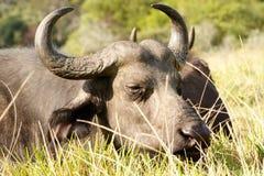 Dobra trawa - Afrykański Bawoli Syncerus caffer Obraz Royalty Free