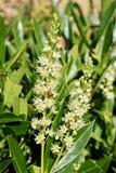 Dobre a flor cravada de Laurel Hedge - louro de cereja - escaninho de Rotundifolia do Prunus princípio de outubro foto de stock